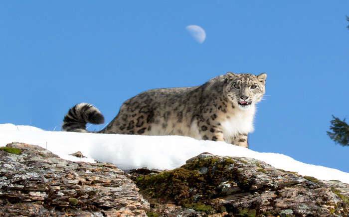 Snow leopard in Spiti