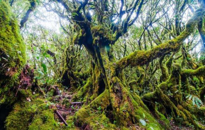 Mossy Forest in Cameron Highlands
