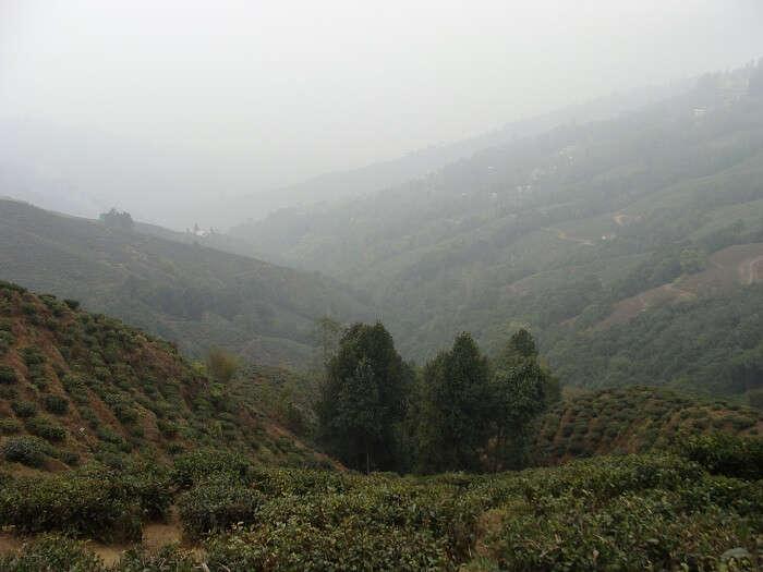 Tea Garden in Darjeeling