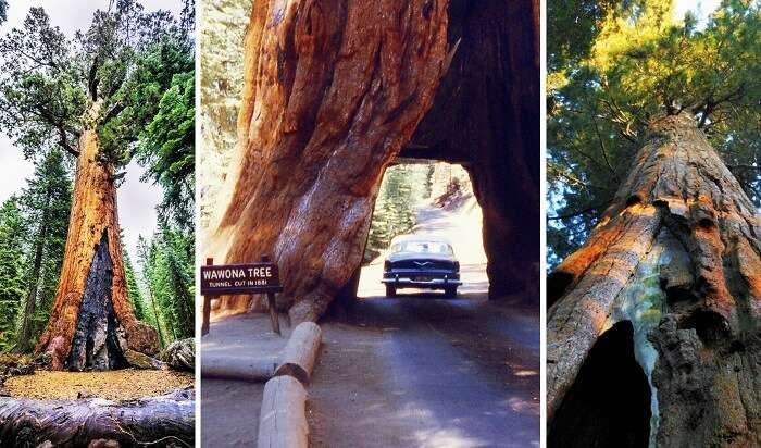 Mariposa Grove at Yosemite National Park