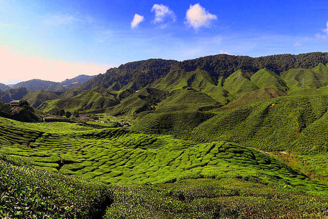 Palampur deals in a wide variety of teas