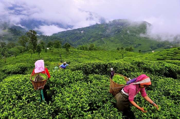 munnar women plucking tea leaves