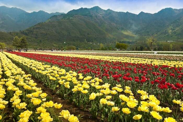 among the top 5 tulip destinations in the world