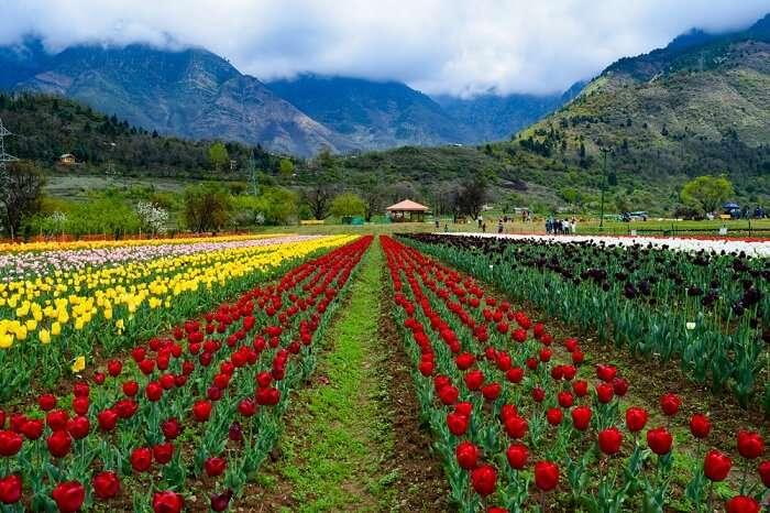 Tulip Garden Srinagar: A Paradise One Should Not Miss In 2020