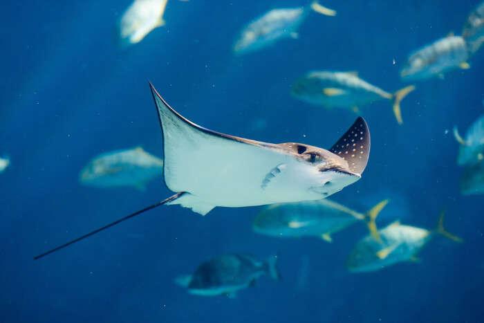 Manta rays in Ile Coco Marine National Park, Seychelles