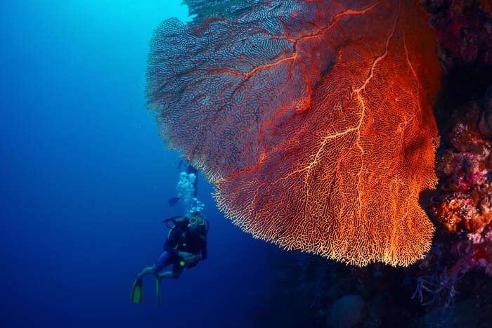 A diver exploring the coral gardens