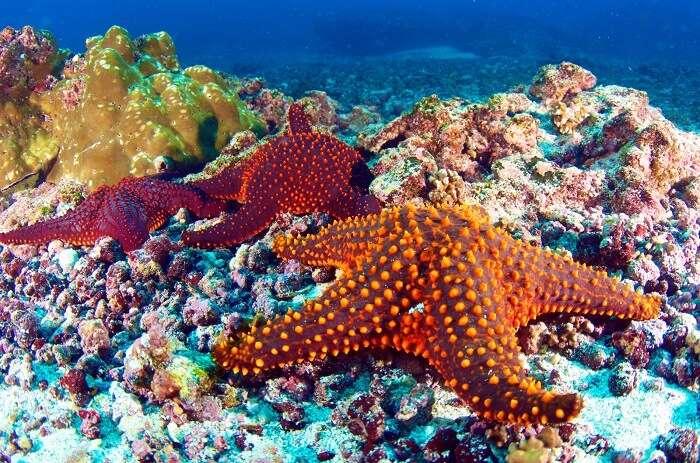 galapagos snorkeling and diving starfish