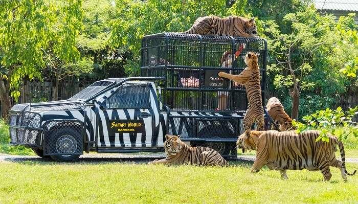 Tigers in Safari Park