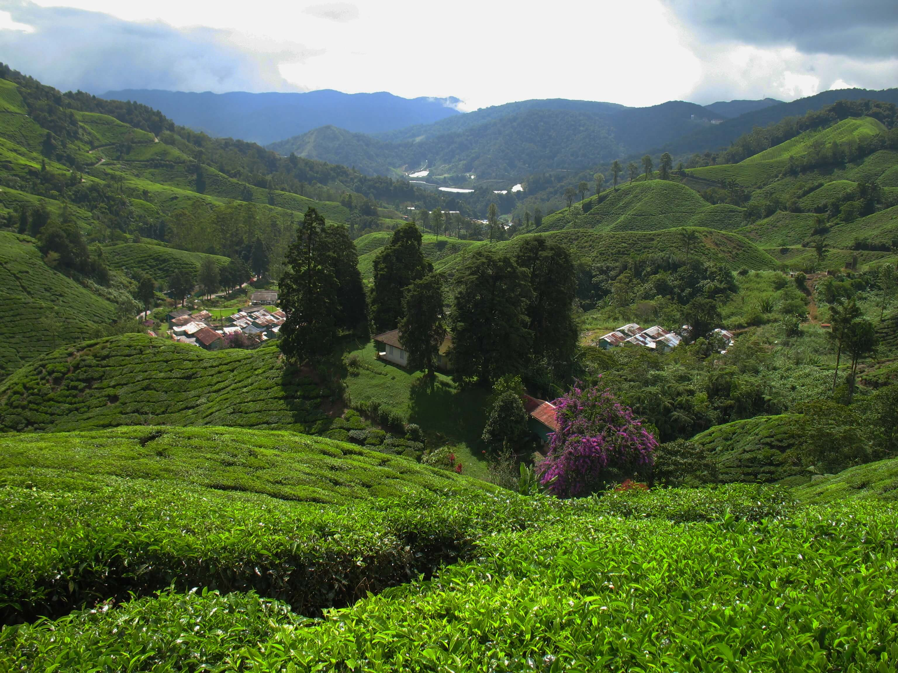 most popular tea plantations in Malaysia