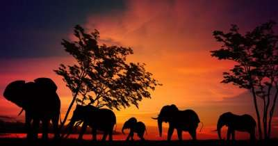 Silhouette of wild elephants