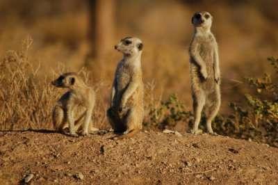 Meercats in Dubai National Park