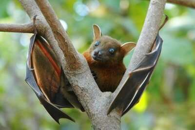 Fruit Bats in maldives