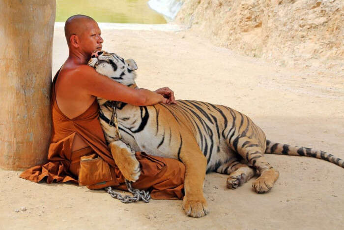 wild tiger and man
