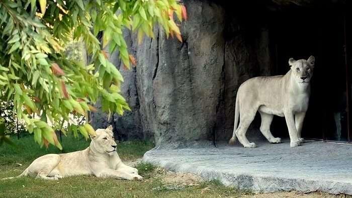 White Lion at African Village