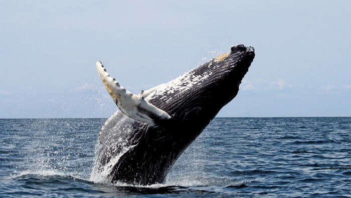 watching gigantic blue whales