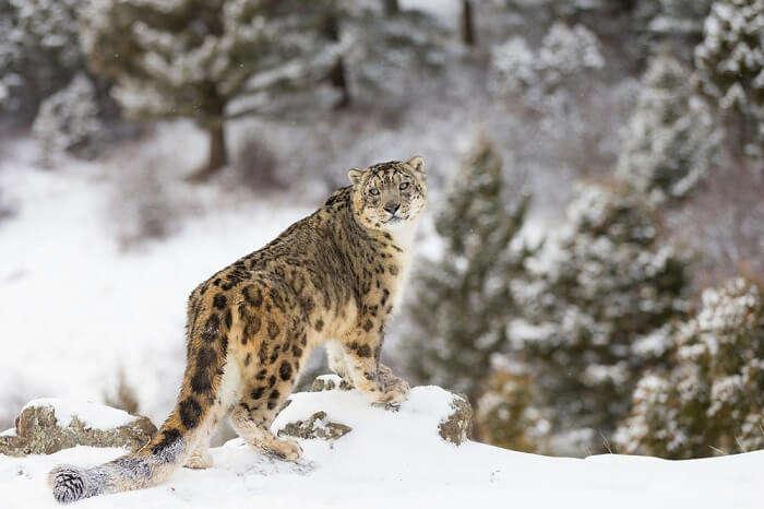 leopard in snow