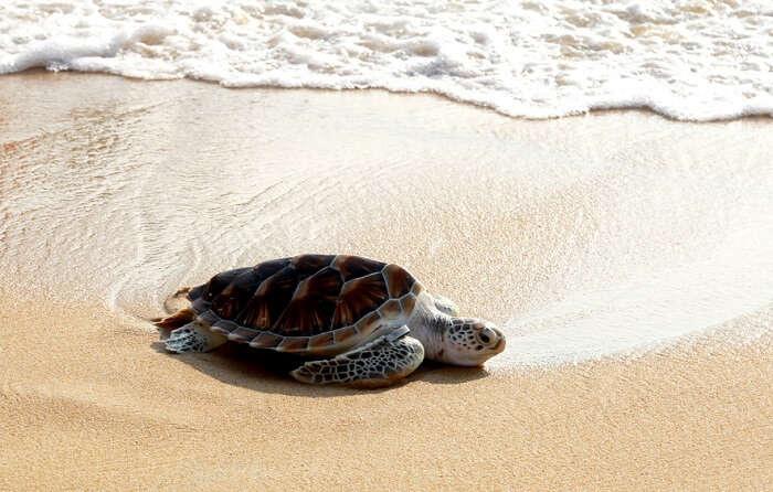 perhentian island turtle observing