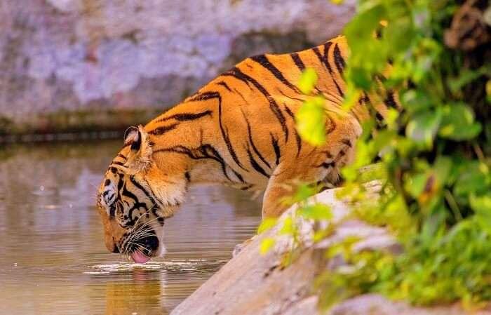 mammals like tiger, leopard, gibbons, wild boars, serows