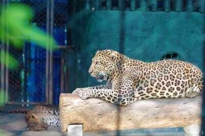 tiger in Samui Tiger Zoo
