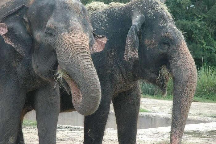 Elephants eating food