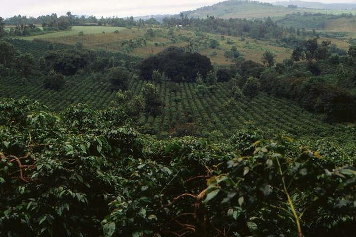 Coffee plantations in Arusha