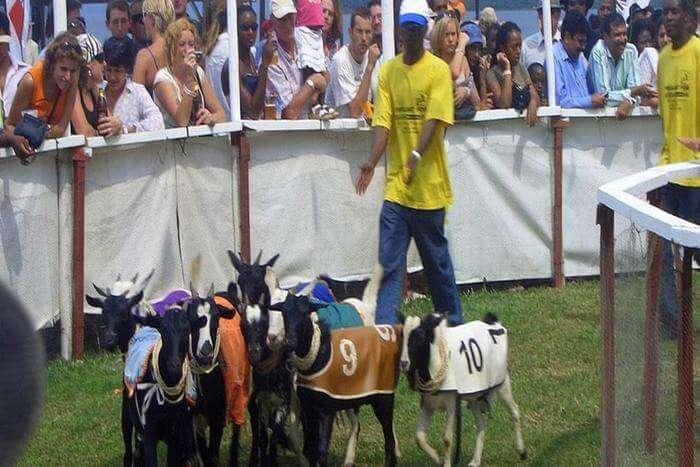 Goat_races