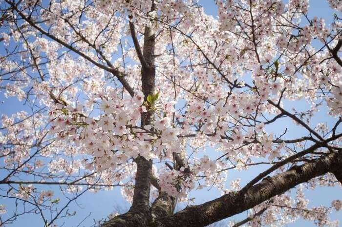 Visit in the month of April so that you don't miss out on Sakura season
