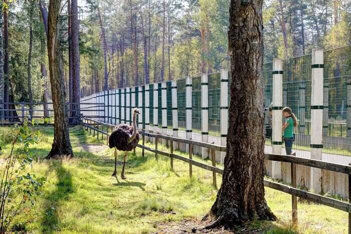 Białowieża_Forest_Ostrich