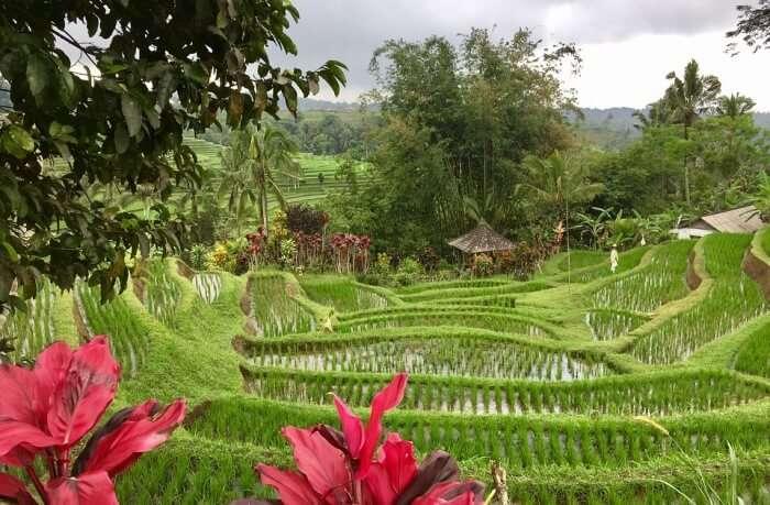 Jatiluwih-Rice-Fields-Entrance-Fee