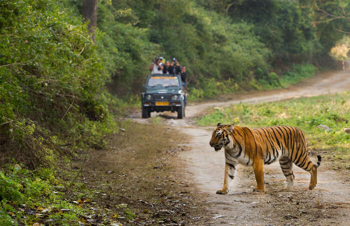 A tiger crossing path with a Jim Corbett safari jeep