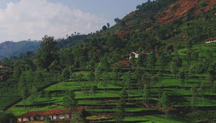 tree plantations on mountains