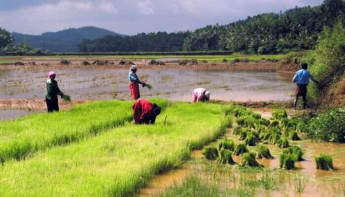people working on paddy fields