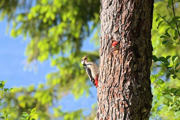 Woodpeckers in national park of latvia