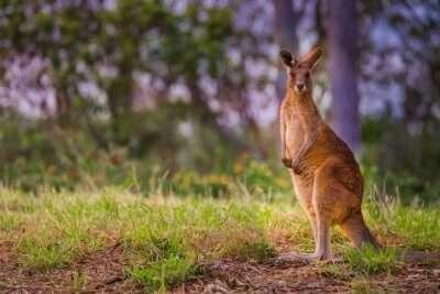 Kangaroo Queensland