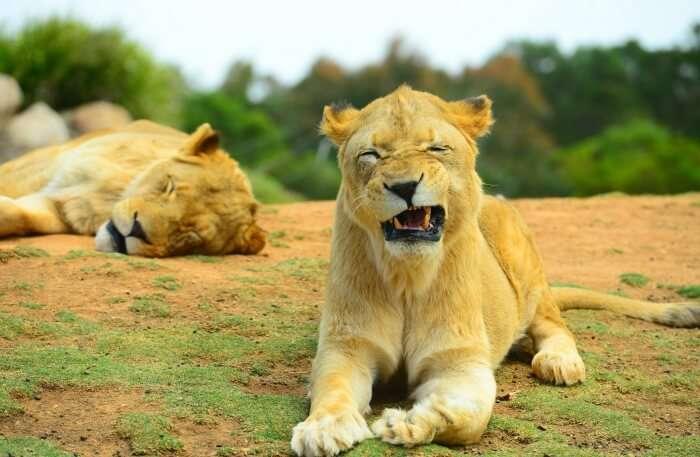 Lion view