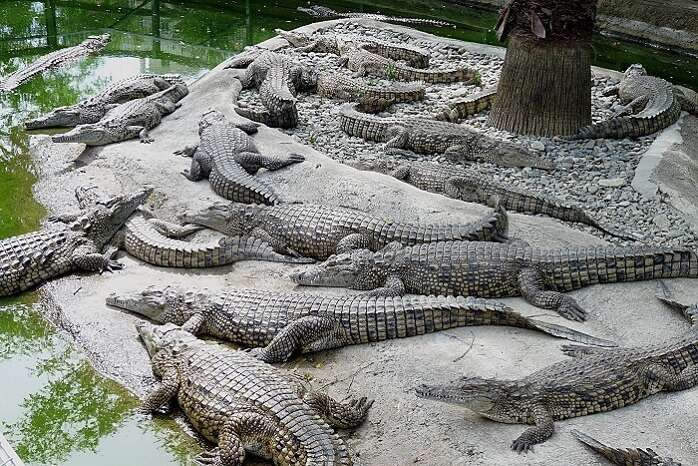several crocodiles in a place