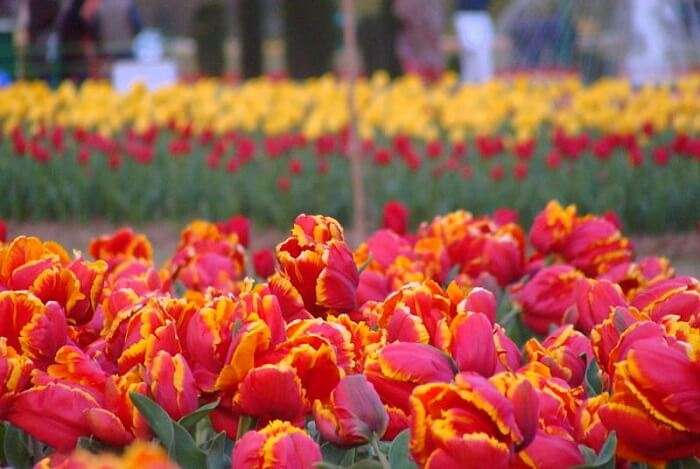 Visit Indira Gandhi Memorial Tulip Garden in Srinagar