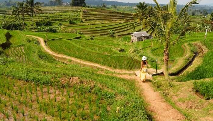 tourist walking in terrace farming field