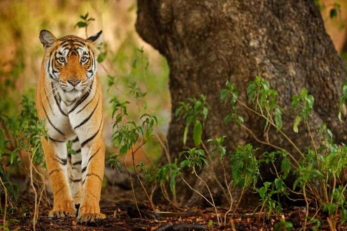 Tiger in the national park