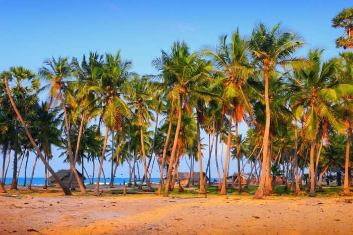 Palm trees in Mannar