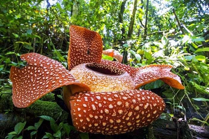 rafflesia flower plant in Madagascar