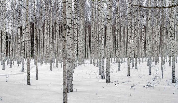 birch forest snow