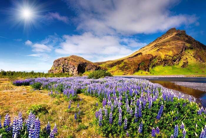 beautiful flowers blossoming in iceland