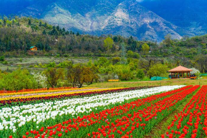 Fabulous Tulip Festival In Srinagar