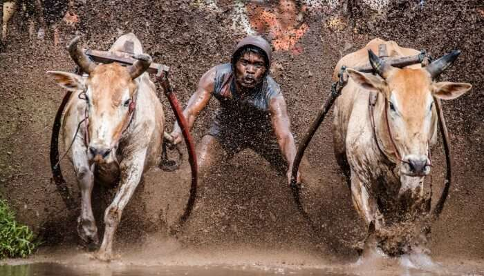 man holding the yokes on two bulls in a race