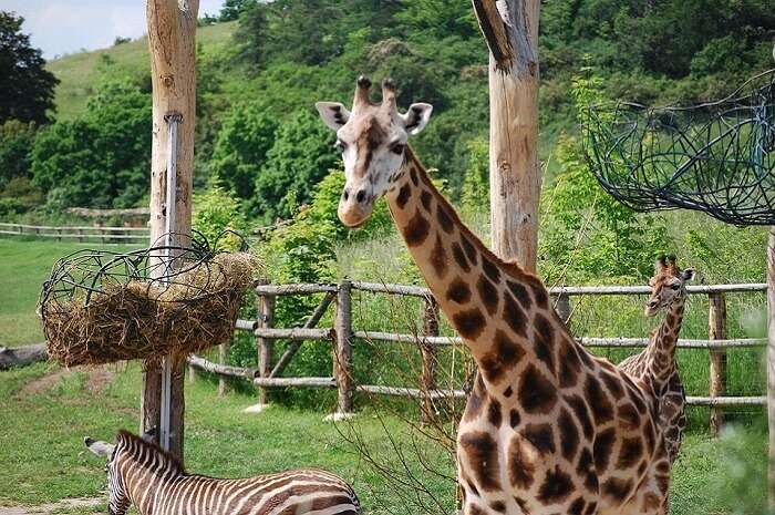 giraffe staring at a tourist