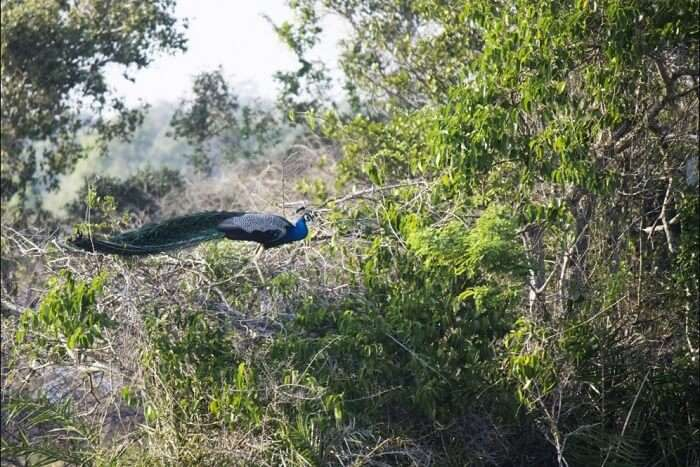 peacock in Indian forest