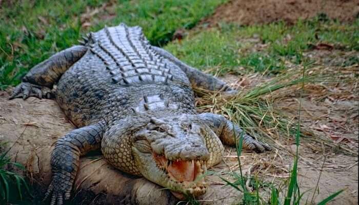 Crocodile View