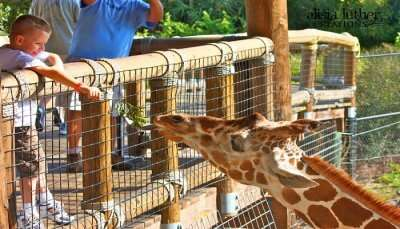 boy feeding giraffe
