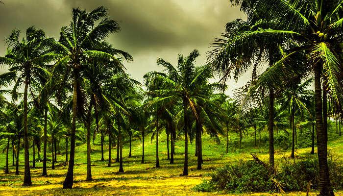 Kerala coconut farm